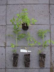 Tomato-PrincipeBorghese-8914