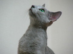 peterbald(0.0), oriental shorthair(0.0), animal(1.0), cornish rex(1.0), small to medium-sized cats(1.0), pet(1.0), mammal(1.0), cat(1.0), korat(1.0), whiskers(1.0), russian blue(1.0),