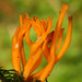 Calocera - Photo (c) Didier, some rights reserved (CC BY-SA)
