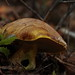 Suillus - Photo (c) Compartodromo, some rights reserved (CC BY-NC-ND)