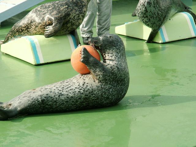 Photo:20090601 おたる水族館のアザラシショー By inugamix