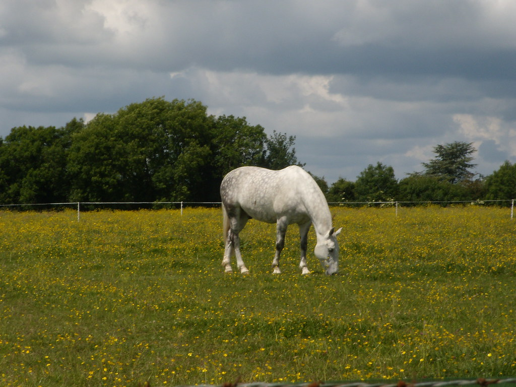 Horse in buttercups Rowlands Castle Circular