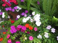 annual plant, shrub, flower, plant, flora, busy lizzie,