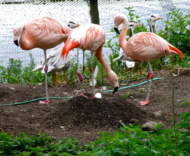 Flamingo Nests 3705447278_7c72909a74_...