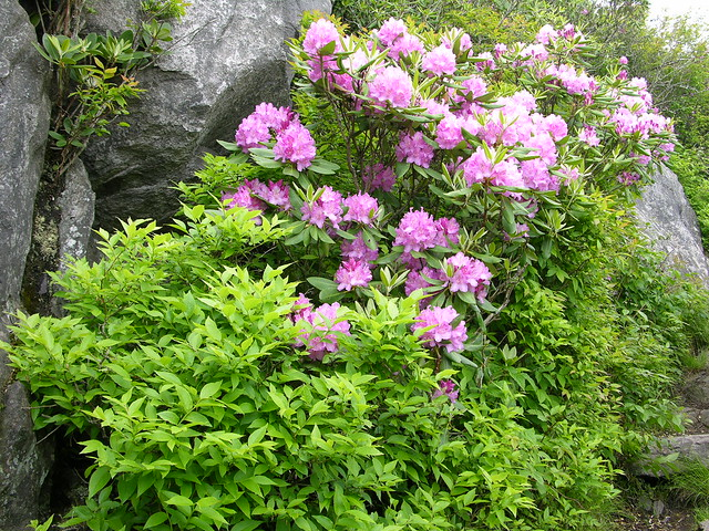 Rhododendron are in bloom in early summer at Grayson Highlands State Park