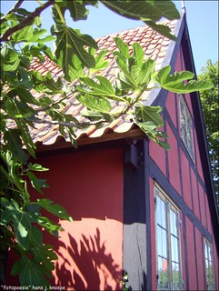 Fig tree on Bornholm / Denmark and traditional archicture...