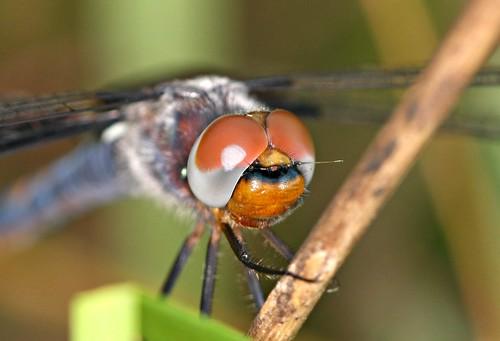pruinosity tramealaceratablacksaddlebagsdragonflypruinescence pruinahoarfrost