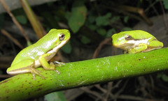 animal, amphibian, frog, reptile, tree frog, green, fauna, wildlife,