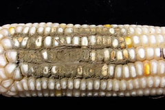 Fri, 06/03/2011 - 13:48 - White maize cob colonized with Aspergillus. Photo by IITA. (file name: MA_PD_005). ONLY low res file available.