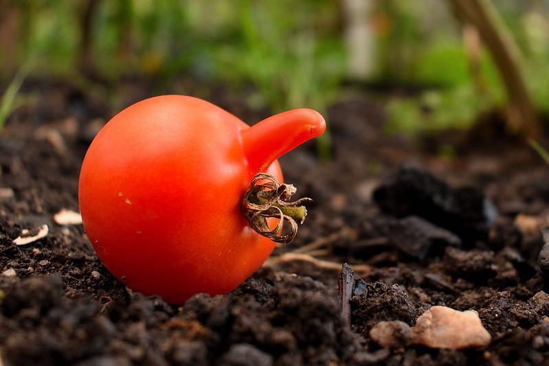 tomato or?