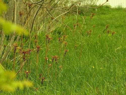 red ontario canada green nature grass garden spring weeds essexcounty sumac seedlings vacantlot kingsville southwesternontario swo