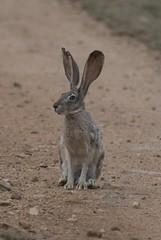 domestic rabbit(0.0), marsupial(0.0), kangaroo(0.0), macropodidae(0.0), animal(1.0), hare(1.0), rabbit(1.0), pet(1.0), fauna(1.0), rabits and hares(1.0), wildlife(1.0),