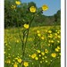 Meadow buttercup - Photo (c) Bart Busschots, some rights reserved (CC BY-NC-ND)