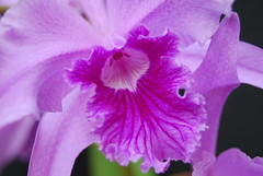 Laelia lobata 'Future Look' x 'Jeni' lip