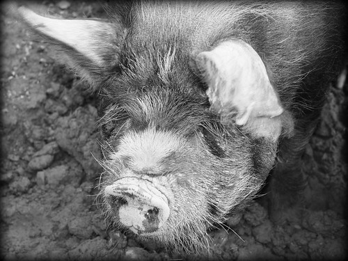 Piggy! Near Truro, Cornwall by Stocker Images