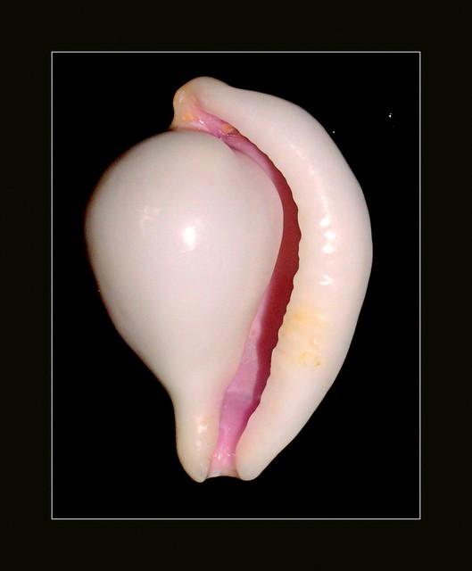 Header of ovula