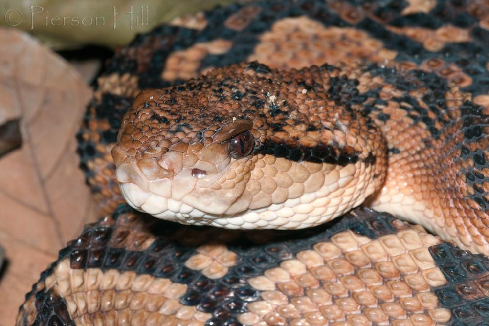 Ядовитые змеи  и название