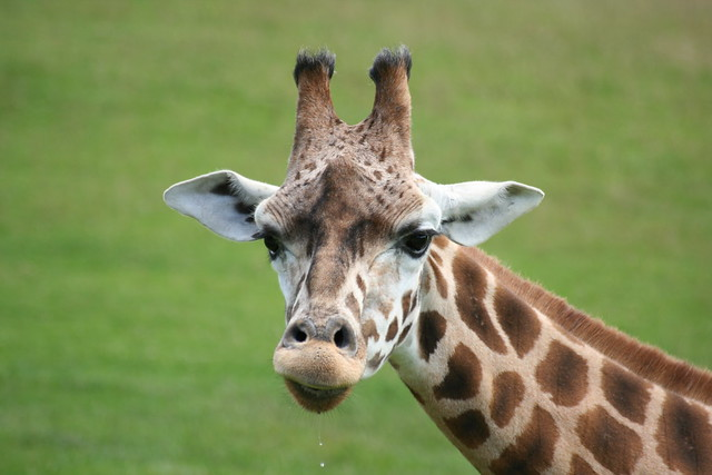 Giraffe head close up - photo#8