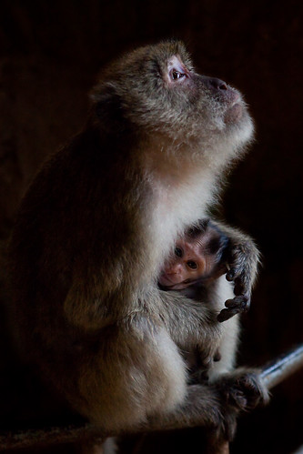 Macaque - Monkey Cave Temple - Thailand