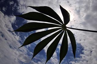 Cassava6