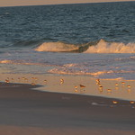 Sandpipers and plovers, Fire Island National Seashore