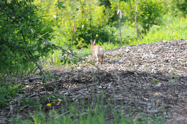 Rabbit running away | CC0 waiver: To the extent possible ...