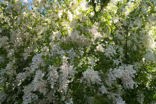 Arbustos florecientes: color de verano que supera el calor | Premier Nursery