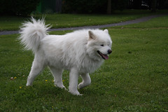 dog breed, animal, dog, japanese spitz, volpino italiano, german spitz, kishu, german spitz mittel, carnivoran, american eskimo dog, samoyed,