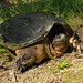 Snapping Turtles - Photo (c) JanetandPhil, some rights reserved (CC BY-NC-ND)