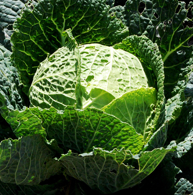 cabbage at point loma lighthouse from Flickr via Wylio