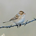 Clay-colored Sparrow - Photo (c) Jerry Oldenettel, some rights reserved (CC BY-NC-SA)