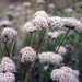 California Buckwheat - Photo (c) Robert McNicholas, some rights reserved (CC BY-NC-ND)