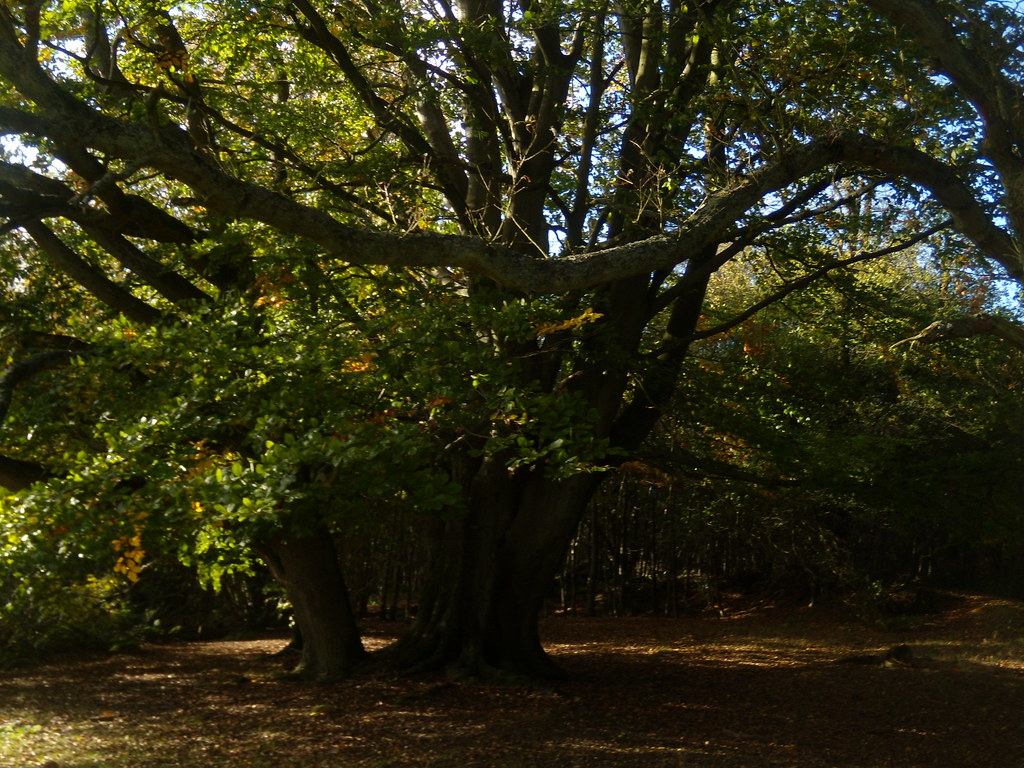 Big tree Sevenoaks Circular