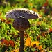 Parasol Mushroom in the autumnally afternoon sun
