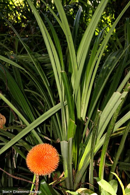 Benstonea monticola (Pandanus monticola) - Urchin-fruited Pandanus, Scrub Breadfruit, Rainforest Screw Pine