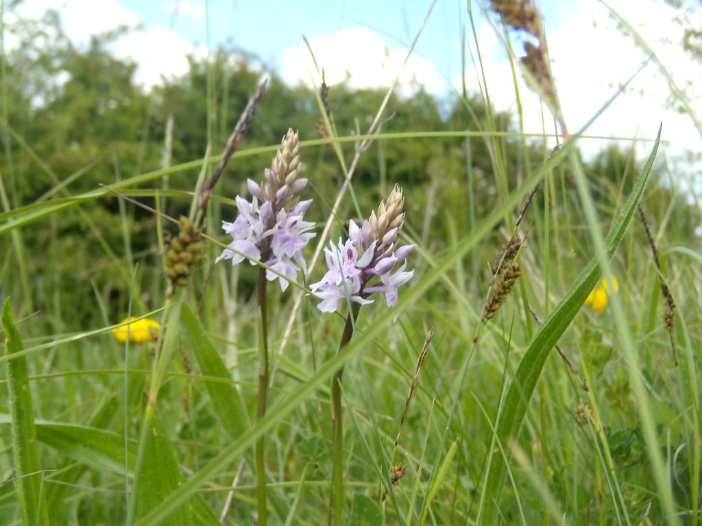 Orchids Cholsey to Goring