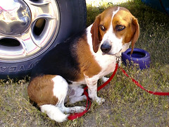 basset hound(0.0), puppy(0.0), dog breed(1.0), animal(1.0), hound(1.0), harrier(1.0), dog(1.0), treeing walker coonhound(1.0), english foxhound(1.0), american foxhound(1.0), pet(1.0), pocket beagle(1.0), basset artã©sien normand(1.0), finnish hound(1.0), hamiltonstã¶vare(1.0), estonian hound(1.0), beagle-harrier(1.0), drever(1.0), carnivoran(1.0), beagle(1.0),