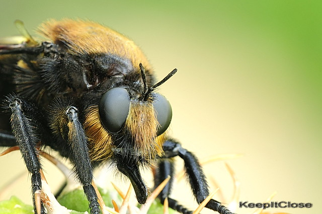 Bee Hunter.