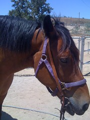 animal, mane, mare, stallion, rein, halter, bridle, pack animal, horse tack, horse, mustang horse,