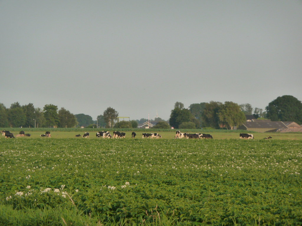 Potatoe Field, Cows, Bridge, Must Be Netherlands