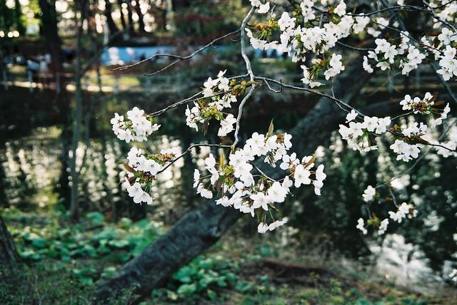 Aomori Ashino Park in Spring