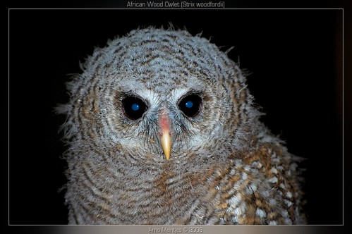 African Wood Owlet, Strix woodfordii