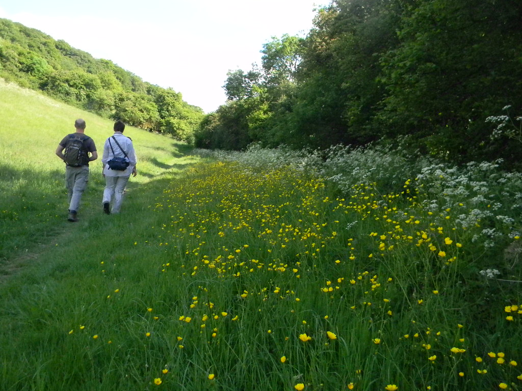Buttercups and cow parsley Little Kimble to Saunderton