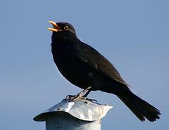 robin(0.0), cinclidae(0.0), raven(0.0), crow(0.0), rook(0.0), wildlife(0.0), animal(1.0), wing(1.0), fauna(1.0), acridotheres(1.0), beak(1.0), blackbird(1.0), bird(1.0),