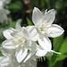 Hydrangeaceae 繡球花科