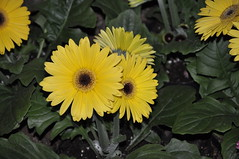 sunflower(0.0), floristry(0.0), annual plant(1.0), sunflower seed(1.0), flower(1.0), yellow(1.0), plant(1.0), gerbera(1.0), daisy(1.0), wildflower(1.0), flora(1.0), oxeye daisy(1.0), petal(1.0),