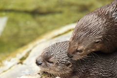 sea otter(0.0), harbor seal(0.0), animal(1.0), marine mammal(1.0), otter(1.0), fauna(1.0), close-up(1.0), whiskers(1.0), mink(1.0), wildlife(1.0),