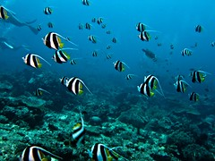 coral reef, coral reef fish, sea, outdoor recreation, marine biology, underwater, reef,