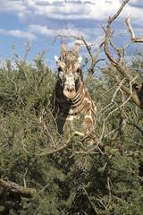 Giraffe at unusual angle