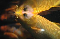 animal, fish, yellow, fish, marine biology, koi, macro photography, close-up, underwater,